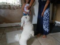 Bichon Frise female. This young lady will be 2 years
