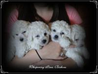 AKC Bichon Frise Puppies. We now have 1 male puppy