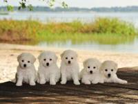 Bichon Frise AKC family raised puppies : ) MALE PUPPIES