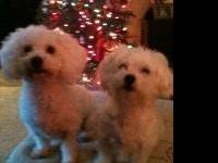AKC Registered Bichon Frise puppies for sale. Friendly