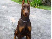 Big and Bold Dobermans will be breeding this fall for A