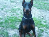 Big and Bold Dobermans has A 11 month old pup for sale.