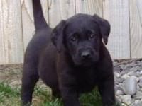 Simply Silver Labradors breeding AKC purebred dogs and