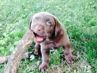Purebred AKC registered chocolate Labrador Retriever