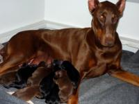Big and Bold Dobermans has A trash that Were born May