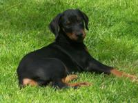 Lovely black and rust female doberman puppy ready now