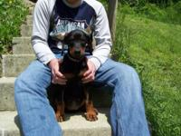 AKC Reg. black and rust women doberman pinscher new