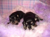 Beautiful, black and silver young puppies, all females.