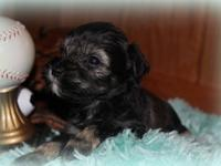 This is Nash: He will be a small toy AKC Miniature