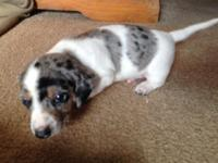 AKC black and tan dapple piebald male, dad is chocolate