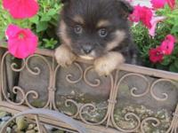 AKC registered black and tan female Pomeranian puppy.