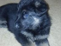 2 female and 2 male black and tan GSD pups for