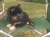 Adorable Black and Tan female Pomeranian puppy. She is