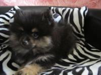 I have a stunning AKC registered female black and tan