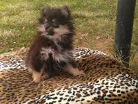 Adorable Black and Tan male Pomeranian puppy, 11 weeks