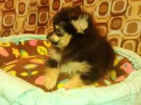 Adorable Black and Tan Pomeranian puppy, 11 week old
