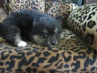 AKC registered black and tan male Pomeranian puppy. He