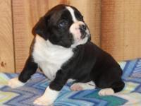 Beautiful AKC boxer pup sealed brindle (black).