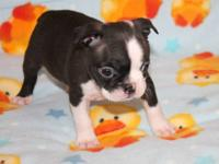 Wrangler is an AKC black brindle & white male Boston