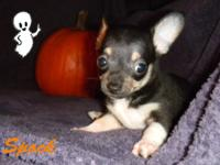 Spock is a beautiful male A.K.C. Chihuahua Puppy. He is