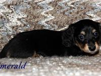 ~Emerald~ is a black/cream long miniature dachshund