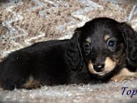 ~Topaz~ is a black/cream long miniature dachshund