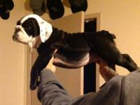 Beautiful black akc English bulldog 11weeks old female