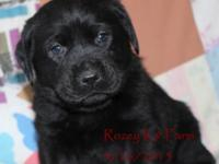 A litter of fabulous Black English male Labrador