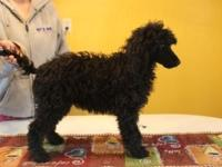 We have two AKC registered Moyen Poodle. Both females,