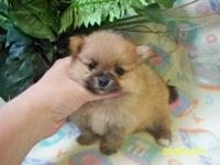 AKC Black Female Pomeranian Puppy. Cute as a button.