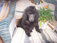 AKC reg Criterion strong black Poodle Girl. This puppy