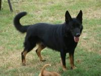 AKC registered black and dark sable german shepherd