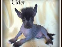 Cider - black real hairless male. $700 unregistered/