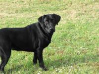 Sasha is a 14 month old Black AKC Labrador Retriever, a