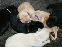 Looking for a Christmas puppy, we have 7 black lab