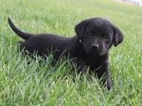Cute AKC black laboratory new puppies. These young