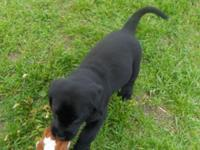 AKC Black lab young puppies. Birthed 04/25/2014. Will