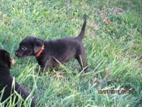 AKC Black Lab Puppies for sale. We have 3 black lab