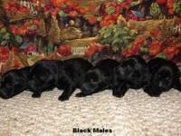 We have 5 Black Males & 4 Black Females in this litter.