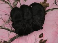 Pictures are at 11 days old. They come with AKC papers,