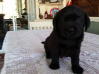 Adorable black lab puppies, 7 weeks old, nice stocky