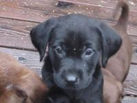 Take One Home Today AKC Registered Black Lab Puppies