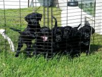 I have 1 pure breed black puppy for sale in the litter.