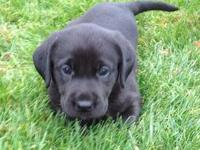 I have 2 black lab puppies left; 1 female and 1 male, 9