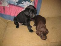 AKC SIR HERSHEY Black Lab Puppies. New England Breed,