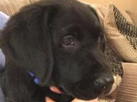 I have one 11 week old male black lab pup. Hes AKC and
