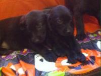 Hi I have 2 boy and 1 female Black Labrador Puppies