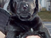 ACK Registered Black Lab Puppies with silver factor for