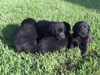 I have an attractive litter of purebred Labrador