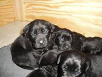 3 out of 10 cute pups available by August 8th. (8 weeks
